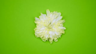 ROTATION: A flower are rotating on a green background. Top view