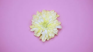 ROTATION: A flower are rotating on a pink background. Top view