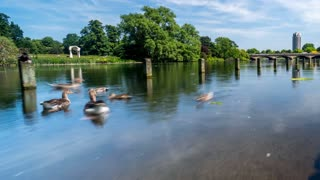 Hyperlapse of Geese and Ducks in Hyde Park in the City of London