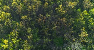 Aerial view over forest of green pine trees