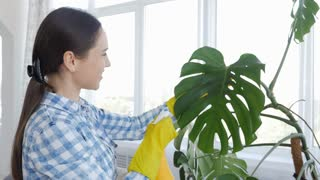 Brunette in gloves cleaning leaves of houseplant