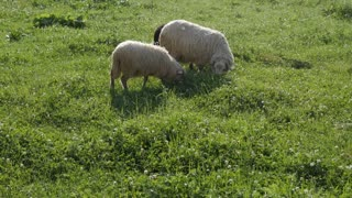 Close-up of sheep grazing on grass