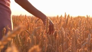 Woman hand stroking the ears of wheat in field