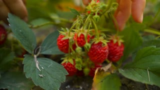 Woman hands pick strawberry in palm