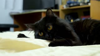 Adorable black maine coon cat playing in the bed. Animal lovers