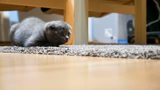Adorable gray scottish fold kitten sitting on the floor. Animal lover