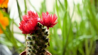 Beautiful small cactus with a pink flower on top of it stock video beautiful small cactus with a pink flower on top of it stock video footage videoblocks mightylinksfo Images