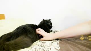 Big black maine coon cat playing in the bed. Big breed