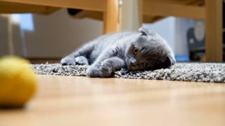 SLOW MOTION: Very cute cat, grey scottish fold, looks at the viewer with  his big orange eyes  Cute kitten ia a standby mode  Furry funny cat on the