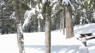 Panning up on pine tree full with snow in bright day