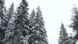 Pine tree peak in forest in winter. Beautiful landscape
