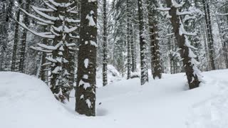 Slowly panning up on pine trees in mountain forest covered with snow