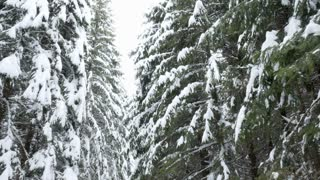Up view on pine trees covered with snow in winter mountains