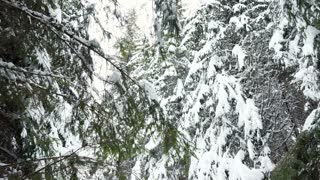 Walking through pine trees covered with snow in winter mountains