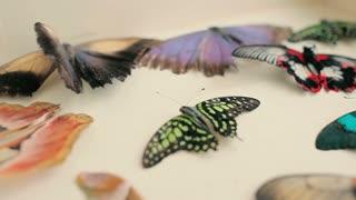 Dried butterflies lie in a box