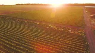 Beautiful sunset at strawberry field