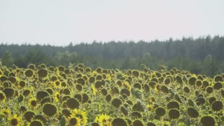 Beautiful woman kisses with handsome man in hat at the sunflowers field