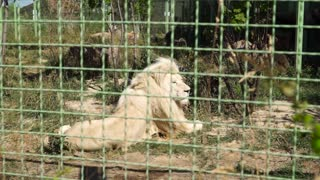 Big lion is resting at the zoo