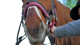 Close-up - the rider checks the bridle on horse's muzzle