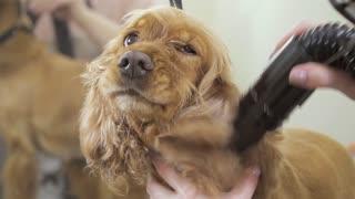 Cute cocker spaniel keep calm during drying his fur