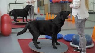 Cynologist trains black labrador in the gym