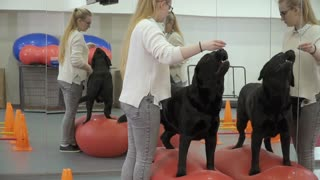 Cynologist trains labrador in the gym near the mirror
