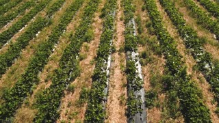 Drone flying above strawberry field