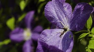 Drops of water splashing at purple flowers in the garden