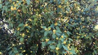 Exotic mango tree with fruits