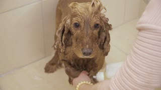 Female washes paws of golden spaniel
