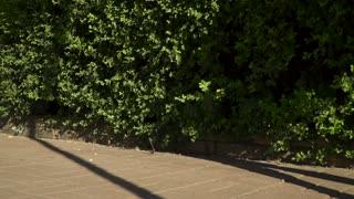 Female with slim legs wearing silver shoes on high heels walking near green bush