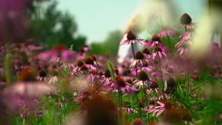 Field with flowers Echinacea
