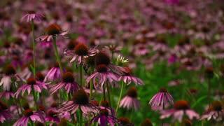 Flowers echinacea on a flower field