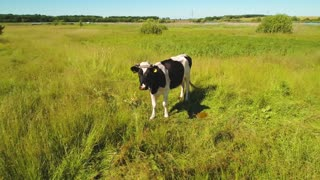 Funny cow look at flying drone at green meadow