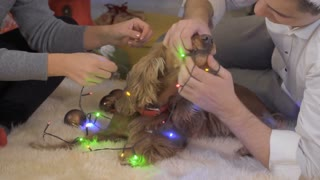 Funny dog eats an electric christmas garland