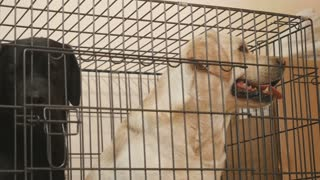 Golden and black labradors in the cage