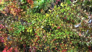 Green bush with red berries