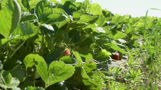 Green bushes of strawberries at the strawberry plantation