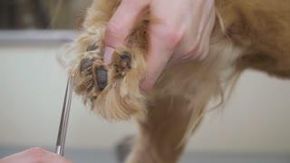 Groomer cuts fur at dog's paw