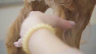 Groomer cuts golden dog's fur with scissors