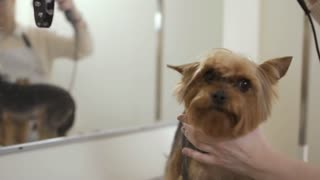 Groomer dries dog fur with hair dryer