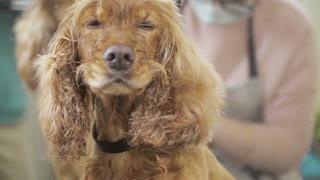 Groomer dries fur of dog