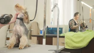 Groomer makes a style for a dog