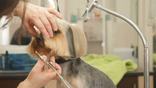 Groomer makes a style for a small dog