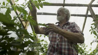 Mature man inspecting cucumber in the greenhouse