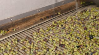 Olives move along the conveyor under the pressure of water
