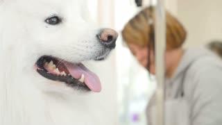 Portrait of white husky