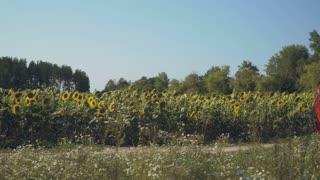 Pretty couple walk over the path near sunflower field