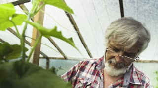 Senior man inspecting sprouts of cucumber in the greenhouse