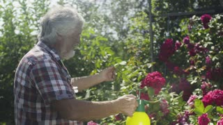 Senior man irrigate roses in the garden with a fresh water